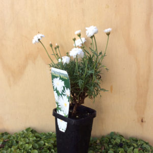argyranthemum double white