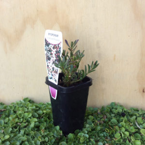 Myoporum parvifolium purpureum