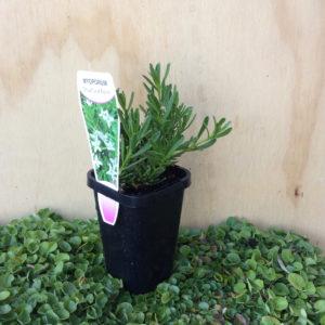 Myoporum parvifolium broad white