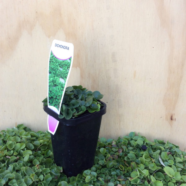 dichondra macrantha