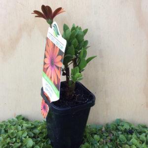 osteospermum ecklonis serenity bronze