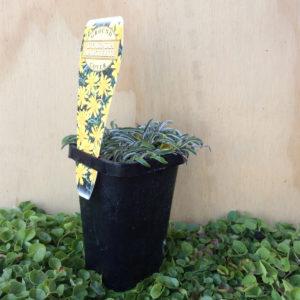 dymondia marguerite
