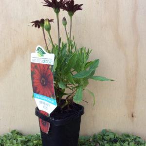 osteospermum ecklonis serenity red