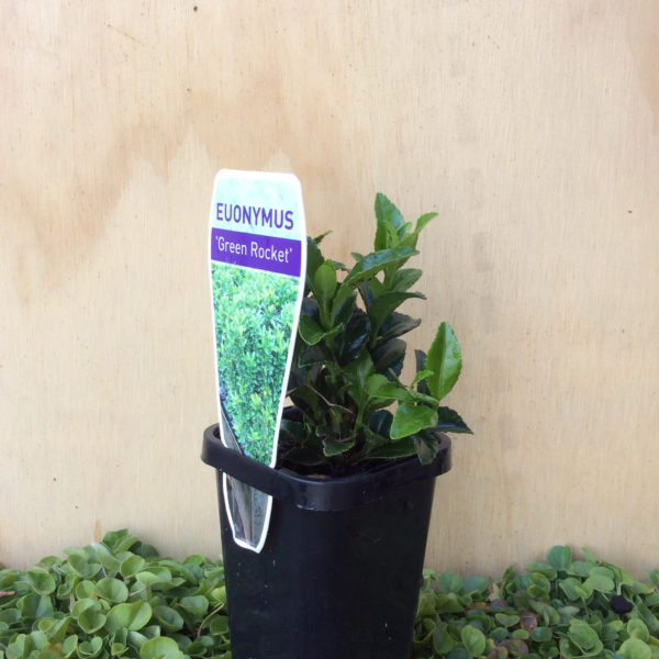 Euonymus microphylla 'Green Rocket'