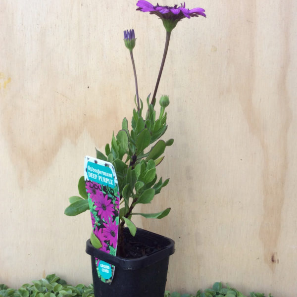 osteospermum ecklonis double purple