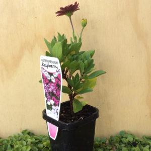 osteospermum ecklonis raspberry