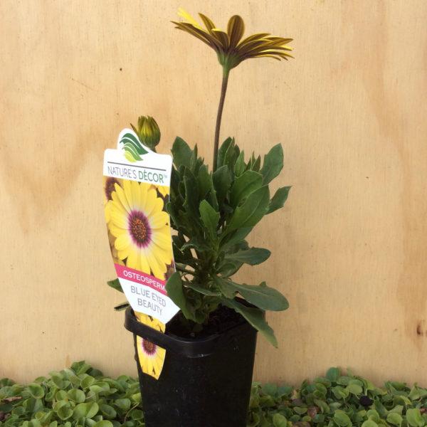 osteospermum ecklonis yellow