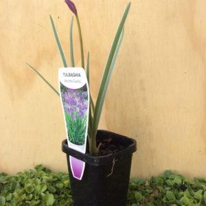 Tulbaghia Society Garlic Variegata